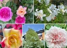 今日は火曜日でアリスは定休日です。今日もバラとカサブランカ香る不思議の国の花園です。