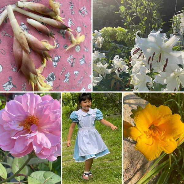 今年の初みょうがを収穫!「アリスお帰り」とアリスのドレス👗でお嬢さん🥰今日も色んな花咲く不思議の国の花園に迷い込んでくださいね。