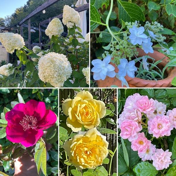 青空広がる今日の朝🌞涼しい国の色んな花咲く花園に迷い込んでくださいね。
