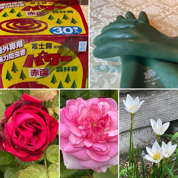今日のアリスは臨時休業です。パワー森林香とバラ専用ゴム手袋で庭作業を開始🎬一足早い不思議の小さい秋お楽しみくださいね。🤗