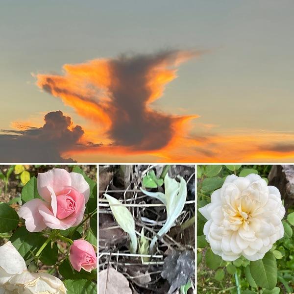 明日から暦は立秋!秋の準備が始まるガーデン。夕焼け空を駆けるドナルドダック🦆今日も不思議の国の花園に迷い込んでくださいね。🥰