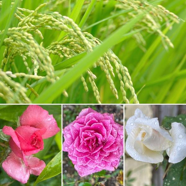 暦は、処暑 末候 禾乃登  (こくものすなわちみのる) 稲穂が実る季節。今日は雨でしっとりした不思議の国の花園です。